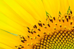 Beautiful  sunflower  abstract background Stock Photography