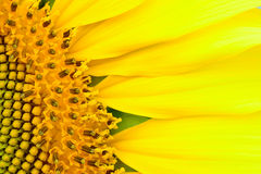 Beautiful  sunflower  abstract background Stock Images