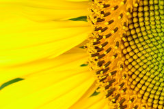 Beautiful  sunflower  abstract background Royalty Free Stock Image
