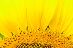 Beautiful sunflower abstract background royalty free stock photos
