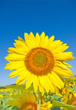 Beautiful sunflower against blue sky. Background royalty free stock photo