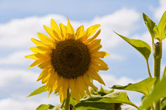Beautiful sunflower against a blue sky Stock Images