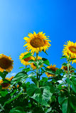 Beautiful sunflower Stock Image