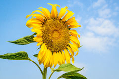 Beautiful sunflower against blue sky Royalty Free Stock Images