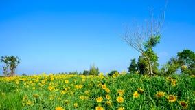 Beautiful Sunflower Against a Blue Sky background Stock Photos