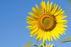 Beautiful sunflower against blue sky Royalty Free Stock Photo