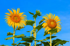 Beautiful sunflower against blue sky royalty free stock photos