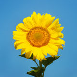 Beautiful sunflower against blue sky Stock Photo