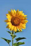 Beautiful sunflower against blue sky Stock Photography