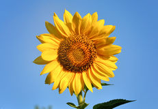 Beautiful sunflower against blue sky Royalty Free Stock Photography