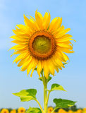 Beautiful sunflower against a bright sky Royalty Free Stock Photography