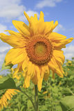Beautiful sunflower against the sky. Stock Images