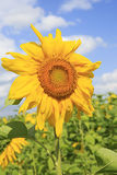 Beautiful sunflower against the sky. Royalty Free Stock Photo