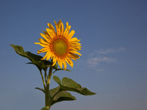 Beautiful sunflower against the sky Stock Images