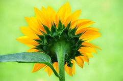 Beautiful Sunflower From The Back Stock Photography