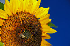 Beautiful sunflower on a background of a blue sky Royalty Free Stock Photography