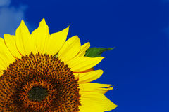 Beautiful sunflower on a background of a blue sky Stock Photos