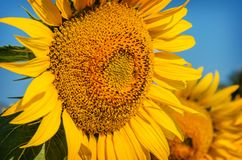 Beautiful  sunflower on a background of blue sky. Stock Image