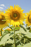 Beautiful sunflower Royalty Free Stock Image