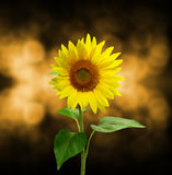 Beautiful sunflower, background with bokeh Royalty Free Stock Photo