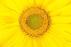 Beautiful sunflower background Royalty Free Stock Photos