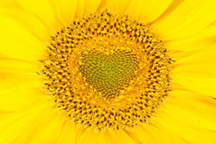 Beautiful sunflower background Royalty Free Stock Photos