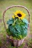 Beautiful sunflower in a basket in garden Royalty Free Stock Photo