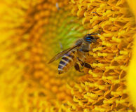 Beautiful sunflower and bee Royalty Free Stock Photo