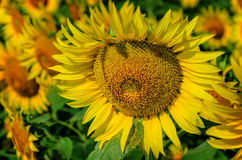 Beautiful  sunflower with a bee. Bees collect nectar from beautiful  yellow sunflower Stock Photography