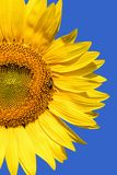 Beautiful sunflower and bee Royalty Free Stock Image