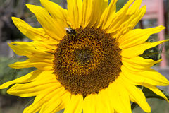 Beautiful sunflower with a bee Royalty Free Stock Images