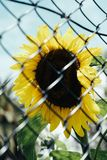 Beautiful sunflower behind a fence royalty free stock images