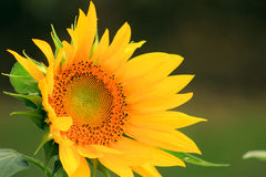 The beautiful sunflower. Bloom in the flower garden, plant cultivation, sunflower, yellow petals, circular greenhouse, green branches and leaves, so beautiful Stock Photos