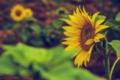The beautiful sunflower Royalty Free Stock Image