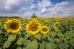 Beautiful sunflower blooming Stock Photography
