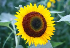 Beautiful sunflower blooming in summer morning royalty free stock photo