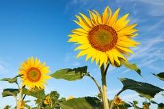 Beautiful sunflower blossoms Stock Photography