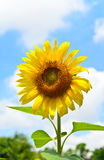 Beautiful sunflower with blue and cloud sky Royalty Free Stock Images