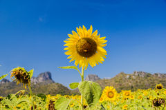 Beautiful sunflower in blue sky Stock Photography
