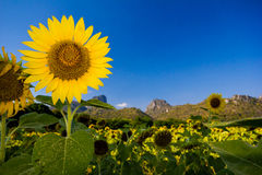 Beautiful sunflower in blue sky Royalty Free Stock Photography