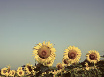 Beautiful sunflower with blue sky background Stock Image