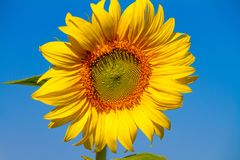 Beautiful sunflower with blue sky background. In a sunshine day,December,Asia,Thailand Royalty Free Stock Photography