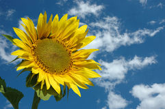 Beautiful Sunflower, blue sky and clouds Royalty Free Stock Photo