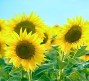 Beautiful sunflower and blue sky Royalty Free Stock Image