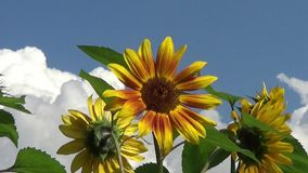 Beautiful Sunflower stock footage