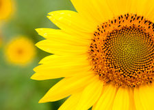 Beautiful sunflower with bright yellow Stock Images