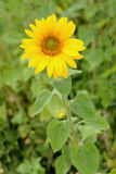Beautiful sunflower with bright yellow Stock Photography