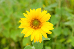 Beautiful sunflower with bright yellow Royalty Free Stock Photos