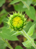 Beautiful Sunflower Bud Royalty Free Stock Images