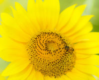 A beautiful sunflower Stock Images